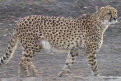 Asiatischer Gepard