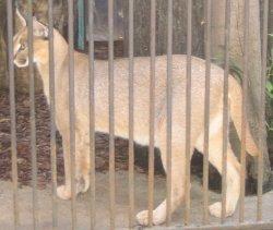 Karakal Lahore Zoo
